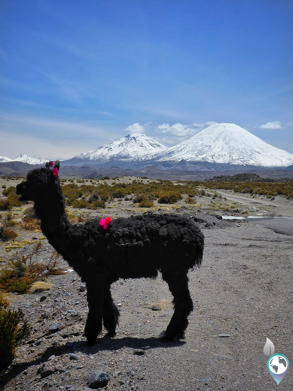 Nationalpark Lauca, Chile, Alpaka, Parinacota