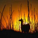 Lama im Sonnenuntergang in San Pedro de Atacama, Chile, Südamerika